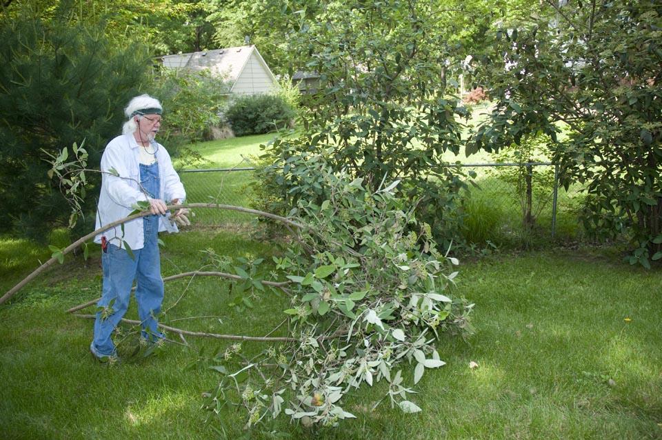 Pruning a viburnum