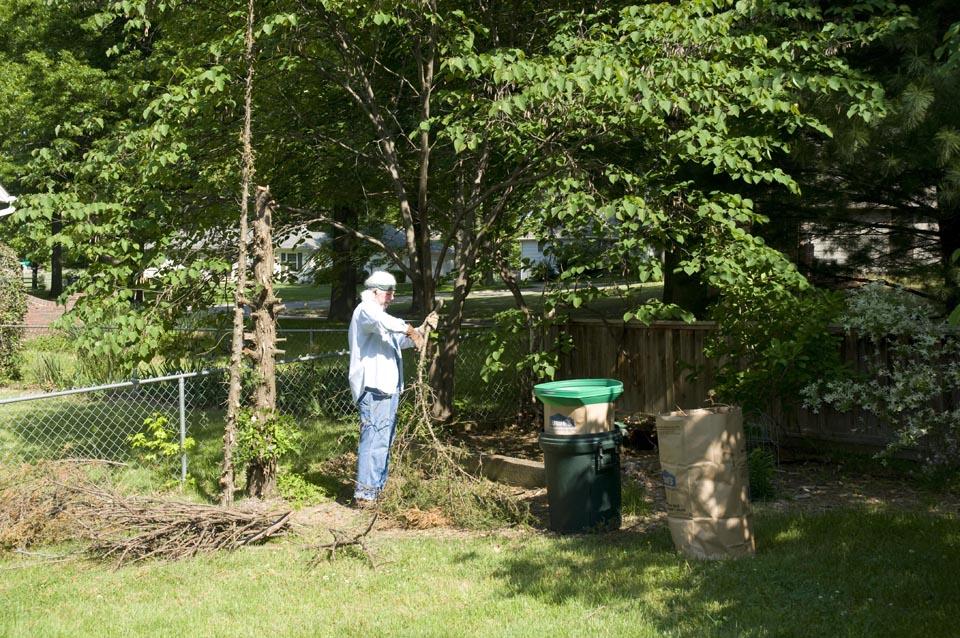 Trimming cedar limbs