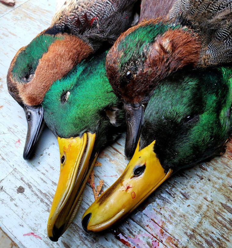 123797513 1014482499051196 5803299980397436232 n 3 St. Clair Duck Hunts