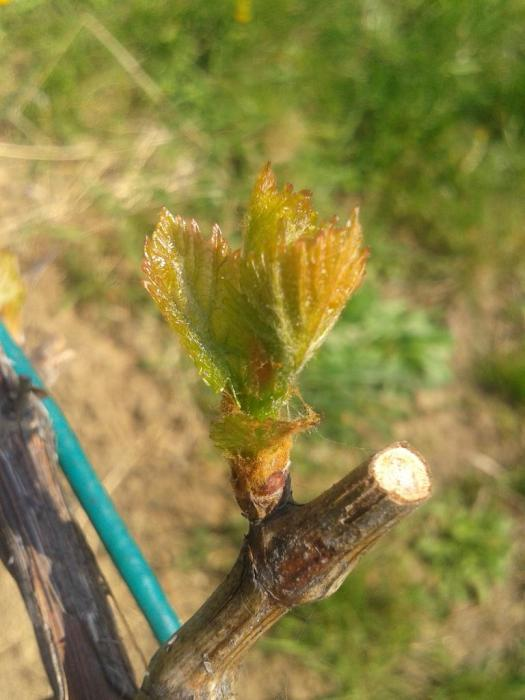 Turán (Agria) bud break