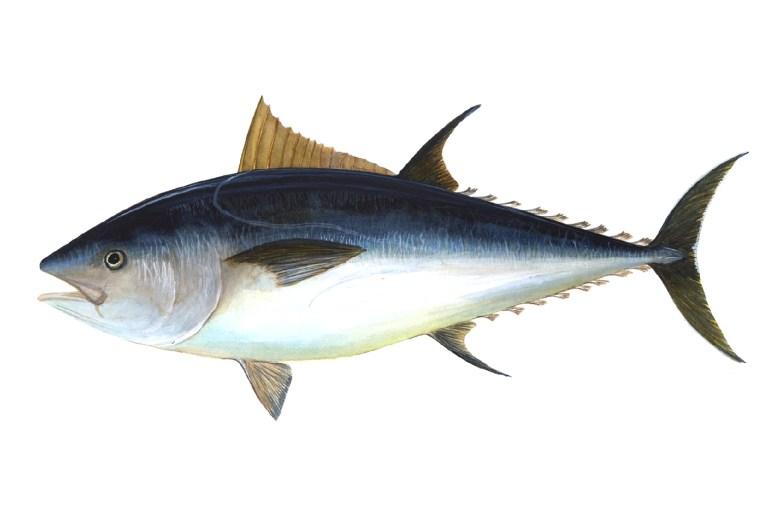 A picture of Blue fin Tuna