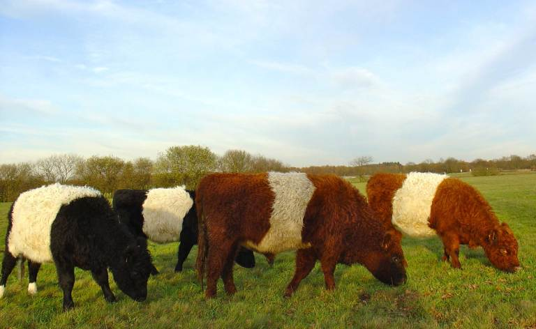 An image of Belted Galloway cattle