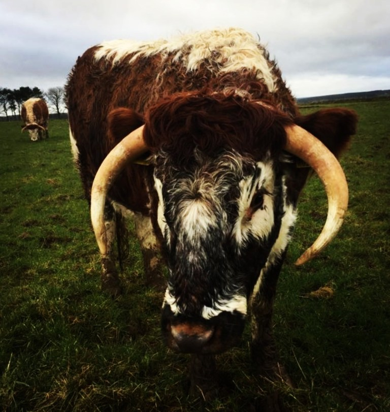 An image of the Longhorn cow (credit A. Watts)