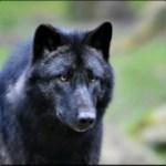 Profilbild von [L&T] BlackWolf11