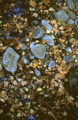 Bigleaf maple leaves in autumn.