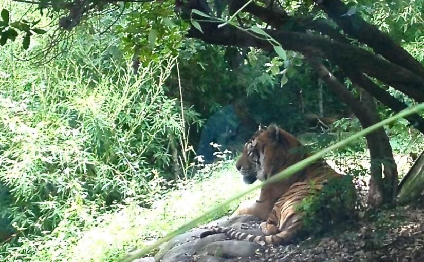 Tiger, Pistoia Zoo, Toscana, Italien.