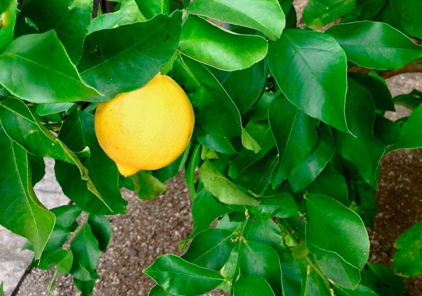 Citrontræ i Limonaia del Castel, Limone sul Garda, Italien.