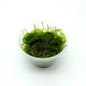 Vesicularia ferriei 'Weeping Moss' portions