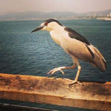 exotic bird on Venice Pier
