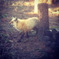 Fox found at my friend Blake's bachelor party in Colorado