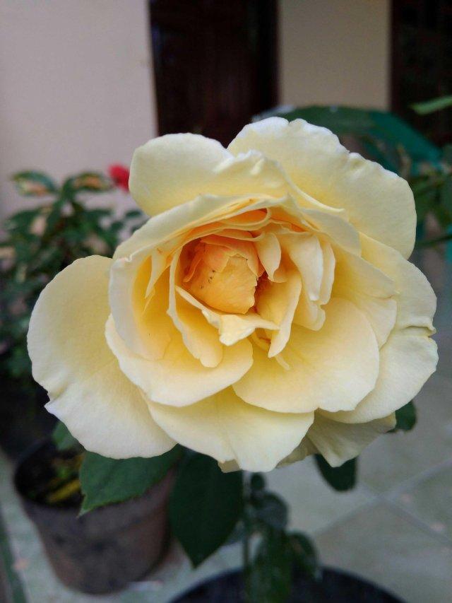 Good Morning Yellow Rose Flower Images Wajiflower