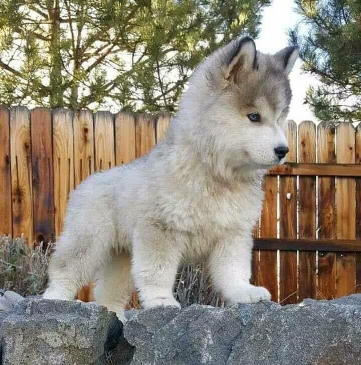 Cute Wolf Cub Steemit