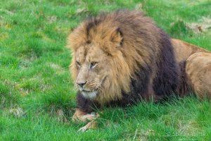 Löwen-4