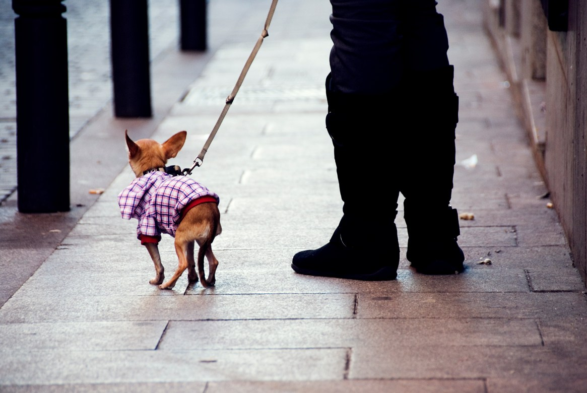 Miniature dog and man's legs in black trousers