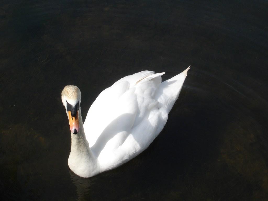 Swan gliding on a lake