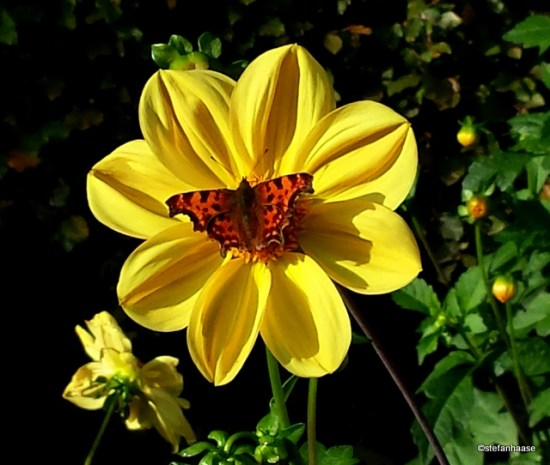 Yellow Dahlia with Butterfly