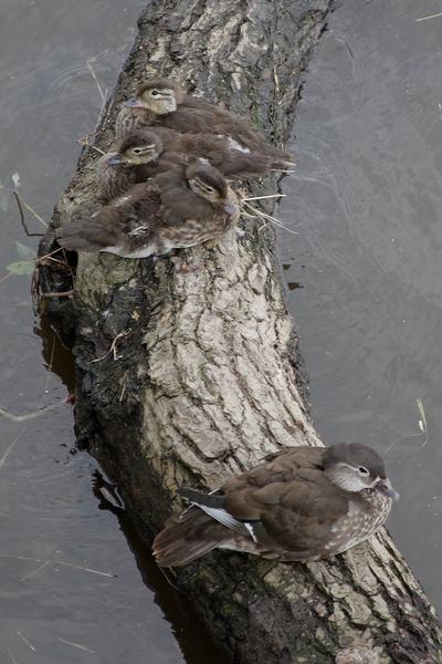 Enten auf einem Ast in der Elbe (2)