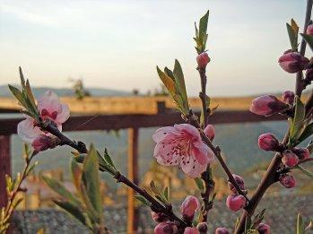 Frukttrærne har blomstret en stund i lavlandet, men nå står de også i full blomst her på 500 moh.