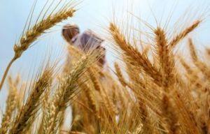 monsanto-wheat