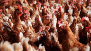 Free-range chickens stand in a pen at an organic-accredited poultry farm in Germany.