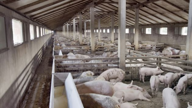 Pig Farm (Credit: Mother Jones article by Tom Philpott)