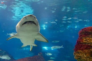 Shark at the Aquarium in Barcelona
