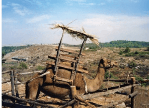Sukka built on a camel