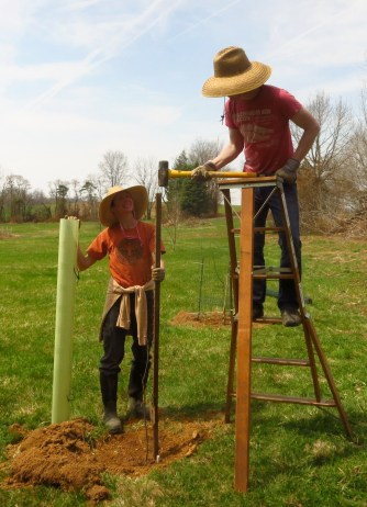 Planting apples and pears