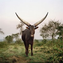 Ankole 16. Lake Mburo district, Nyabushozi, Western Region, Ugan