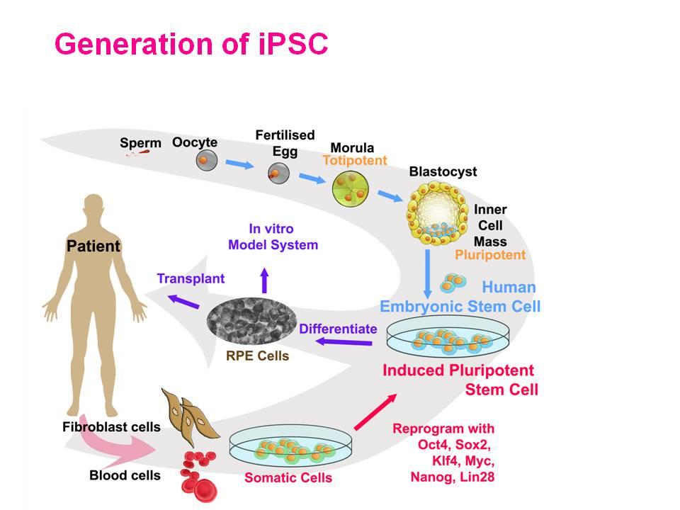 Pluripotent Adult Stem Cells - Girls Wild Party