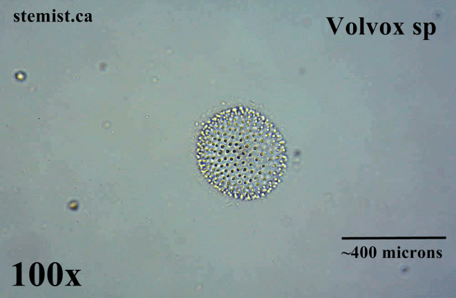 Above: A species of volvox at 100x magnification. Many algal cells live connected together.