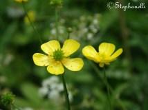 Ranunculus acris - Meadow Buttercups
