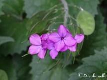 Lunaria annua - Honesty