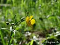 Ranunculus acris - Meadow Buttercup