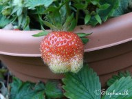 Larger strawberry getting there!
