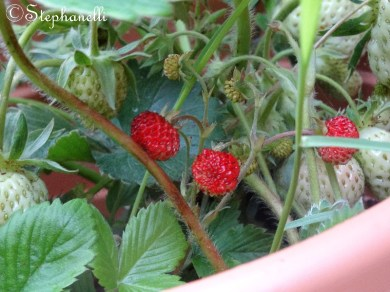 Some alpine strawberries nestling amongst the giants