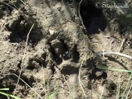 Dog pawprint