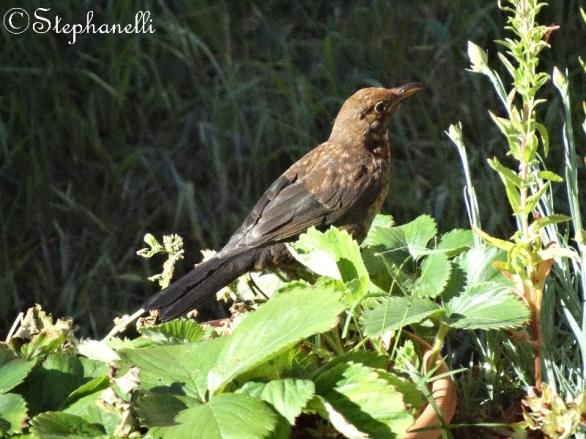 Young male blackbird
