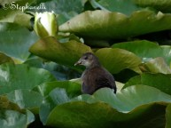A juvenile moorhen glares from the lillies.