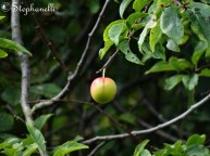 Fruit - possibly a plum?