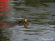 Duckling in the early morning