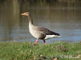 Greylage Goose