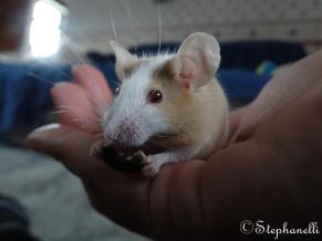 4th April 2016 - My favourite treats are pumpkin seeds and cheerios. I get a pumpkin seed or two every day after playtime and I sometimes get cheerios at the same time. It means I know I've been a good little mouse! This was the first time I've eaten while sat mummy's hand!