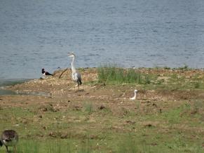 Oystercatcher, heron and little egret
