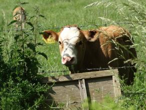 The cow came to say hello and promptly ran away again!