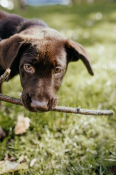 stephanie-green-weddings-puppy-portrait-ryan-jyothi-chocolate-lab-dog-pawtraits-walthamstow-london-27