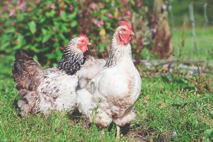locavorism and locally raised chickens