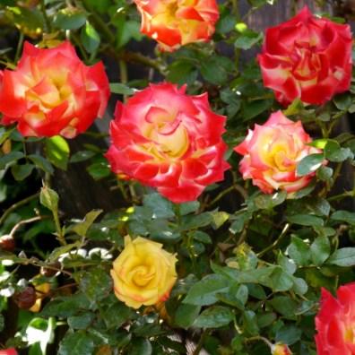 Rosen überall!