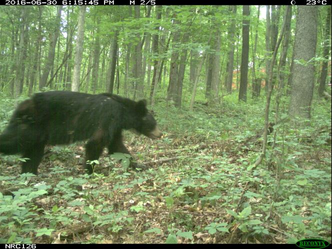 black bear on camera trap