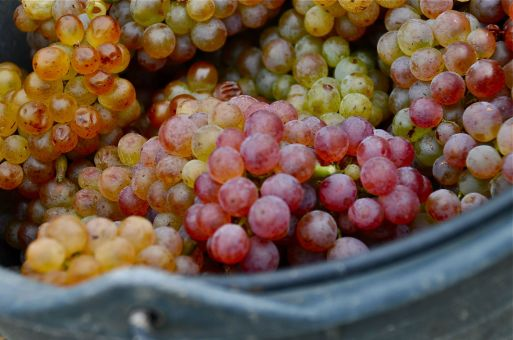 Grapes, Vienna